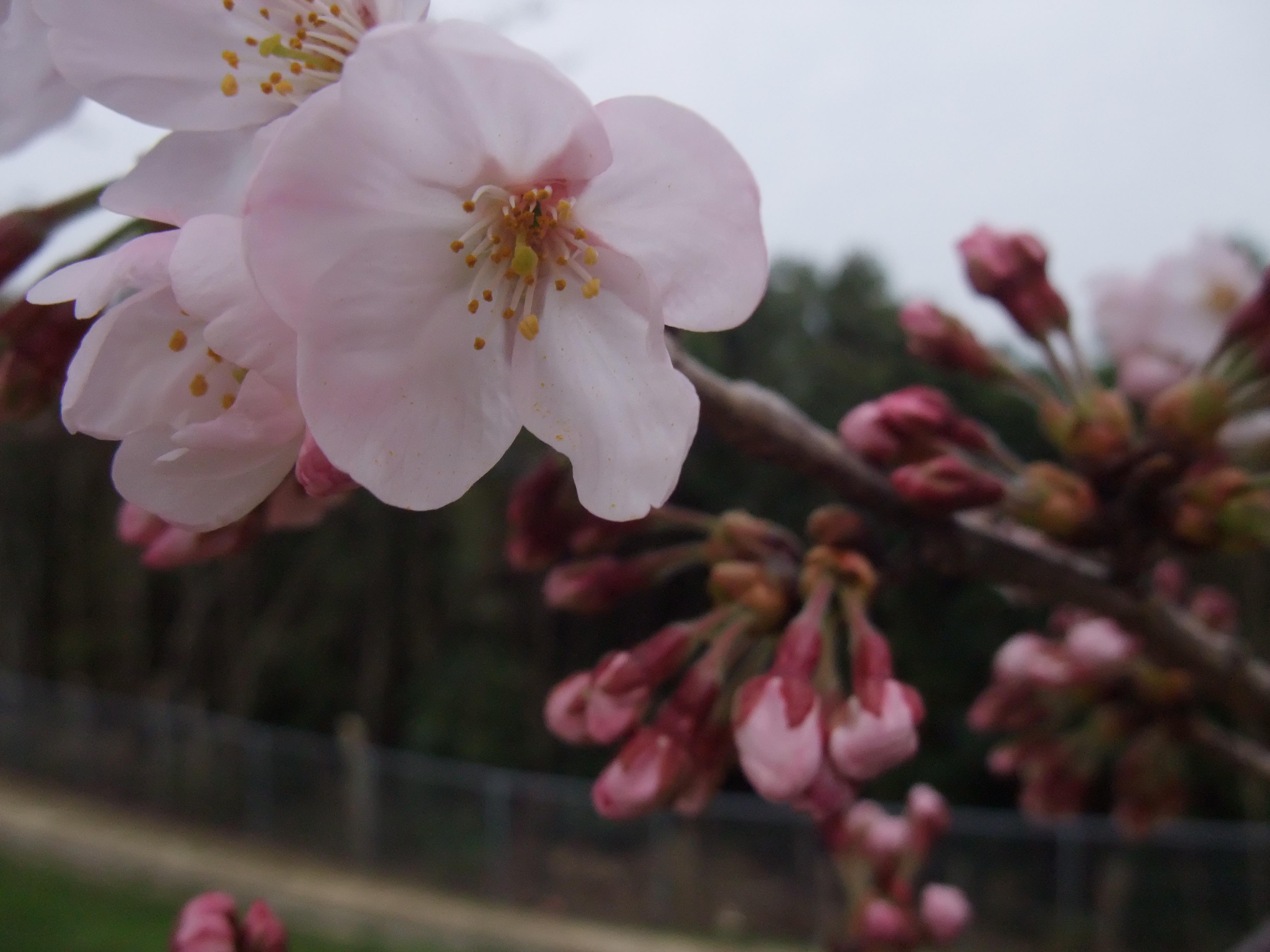 垂水健康公園の桜
