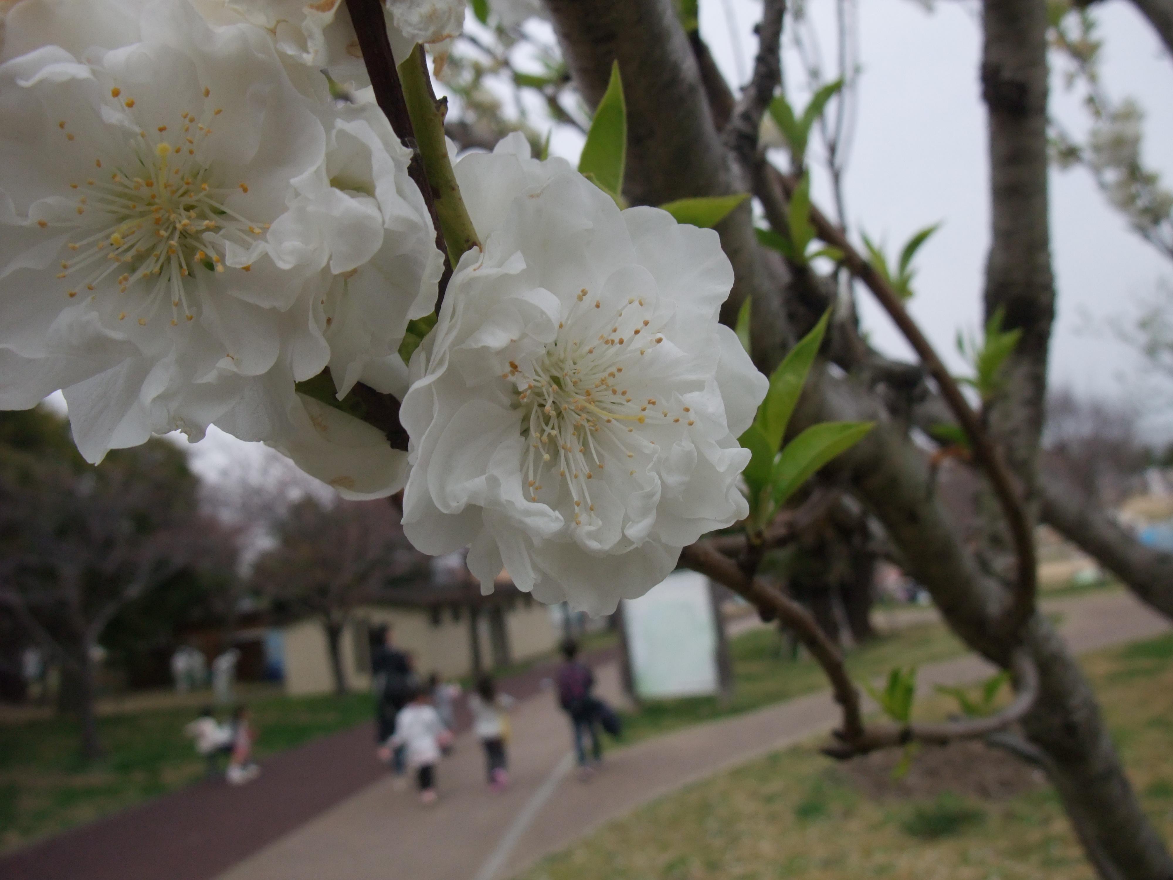 垂水健康公園ハナモモ白