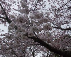 垂水健康公園・桜