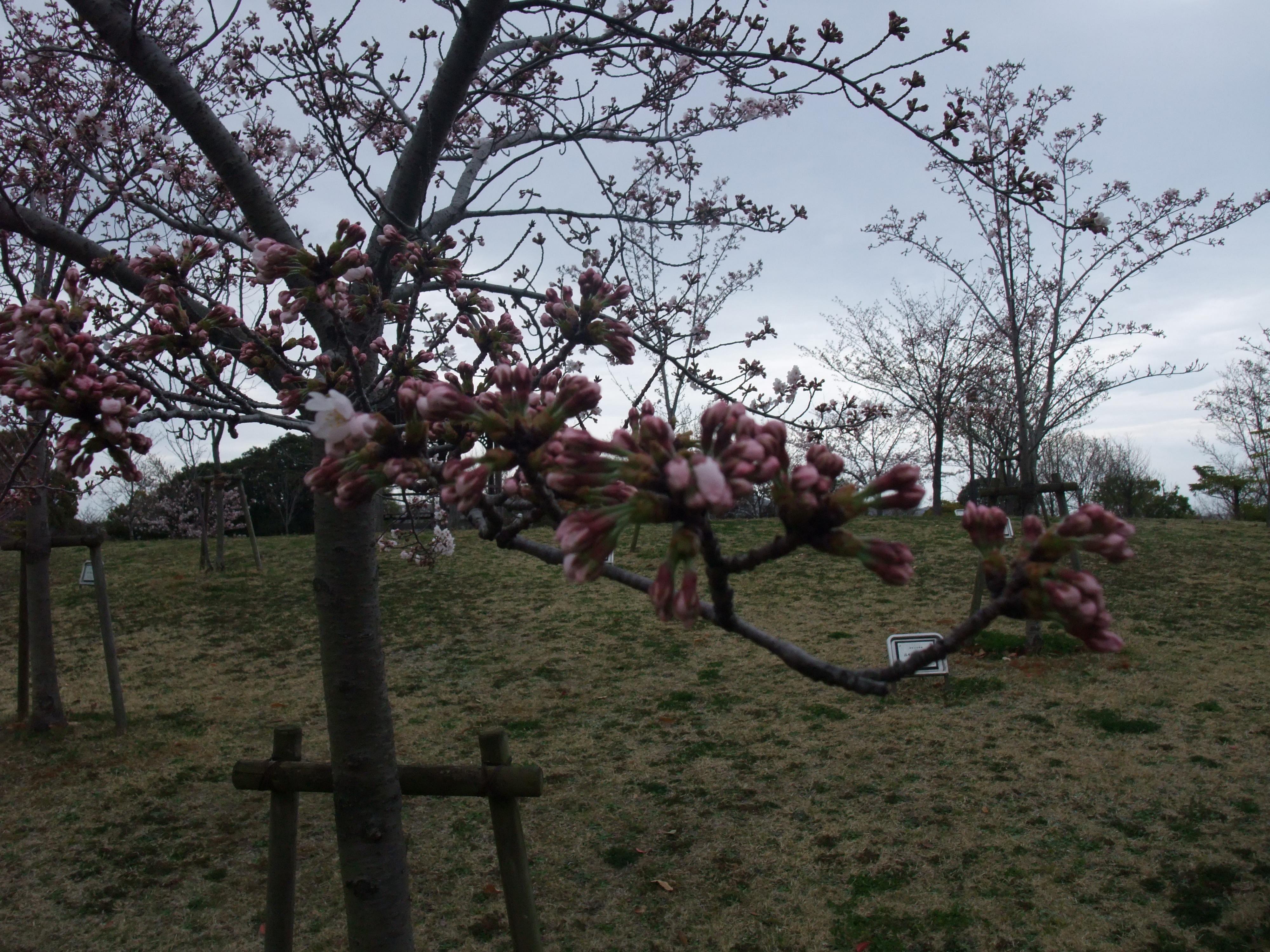 垂水健康公園の桜のつぼみ
