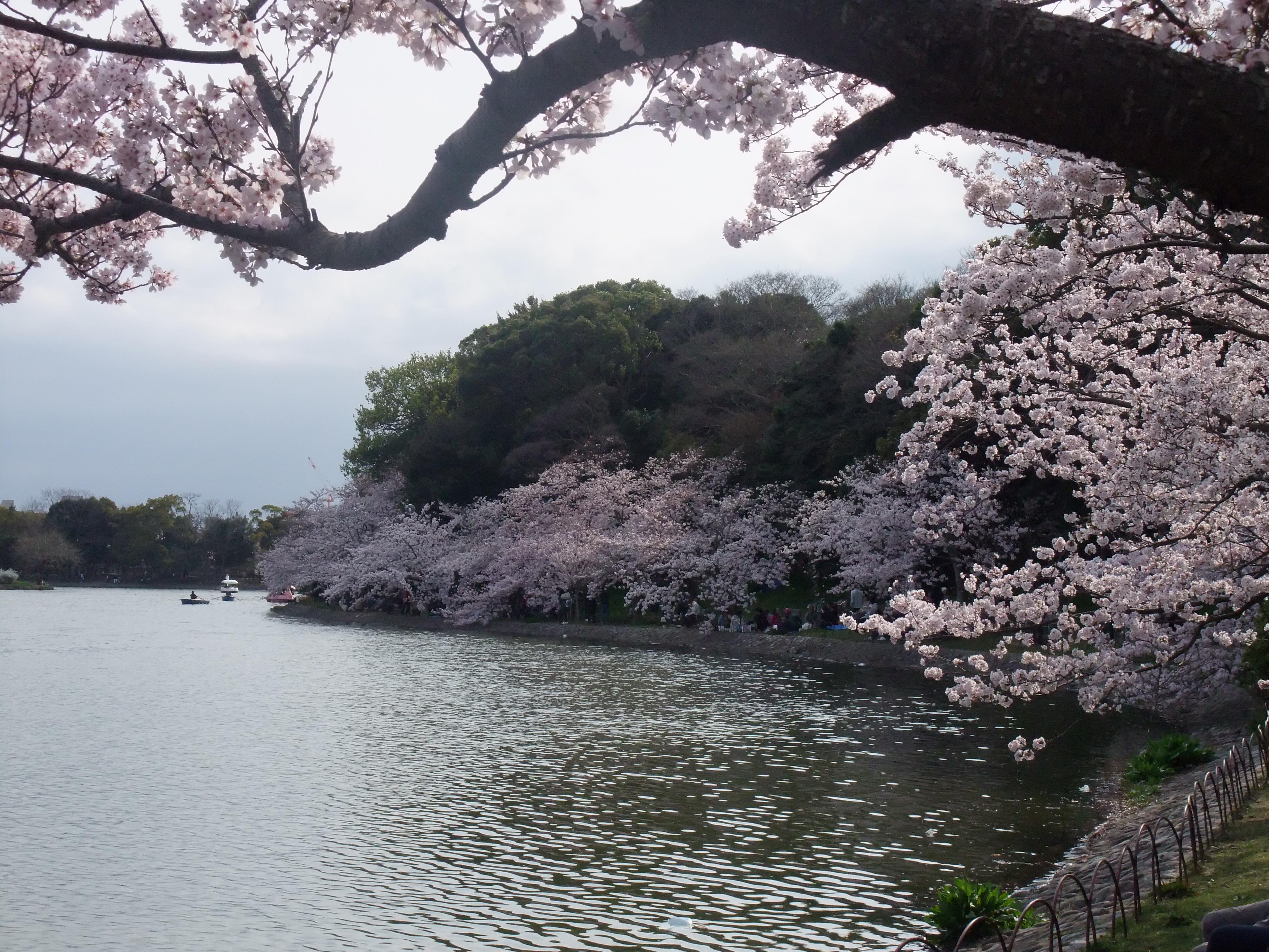 明石公園ソメイヨシノ