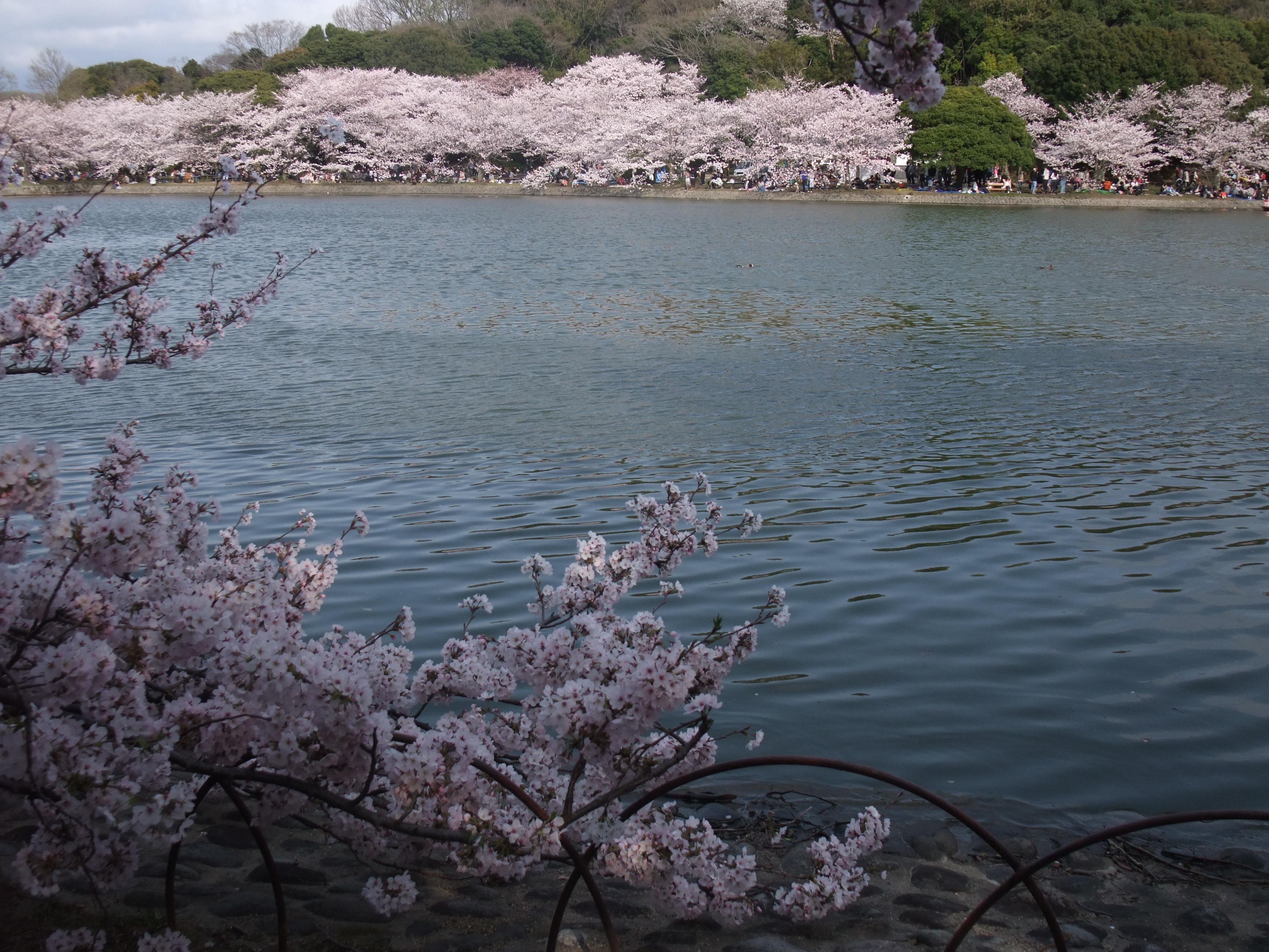 明石公園の桜4
