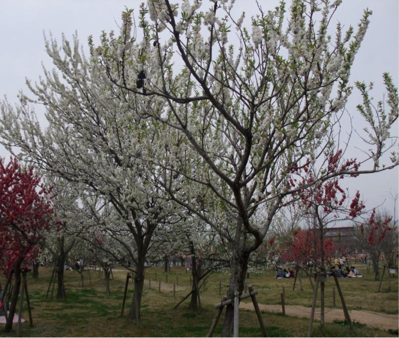 垂水健康公園ハナモモ
